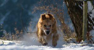 hond-sneeuw-winter