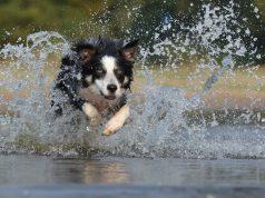 tips-zwemmen-met-honden
