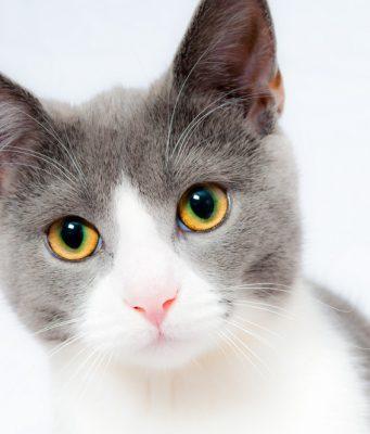 duurste-katten-rassen