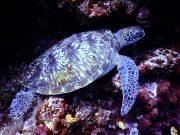 karetschildpad-zeldzame-dieren