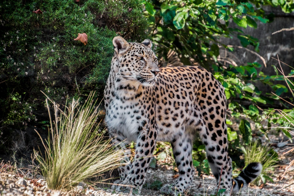 luipaard-zeldzame-dieren