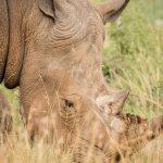 neushoorn--zeldzame-dieren