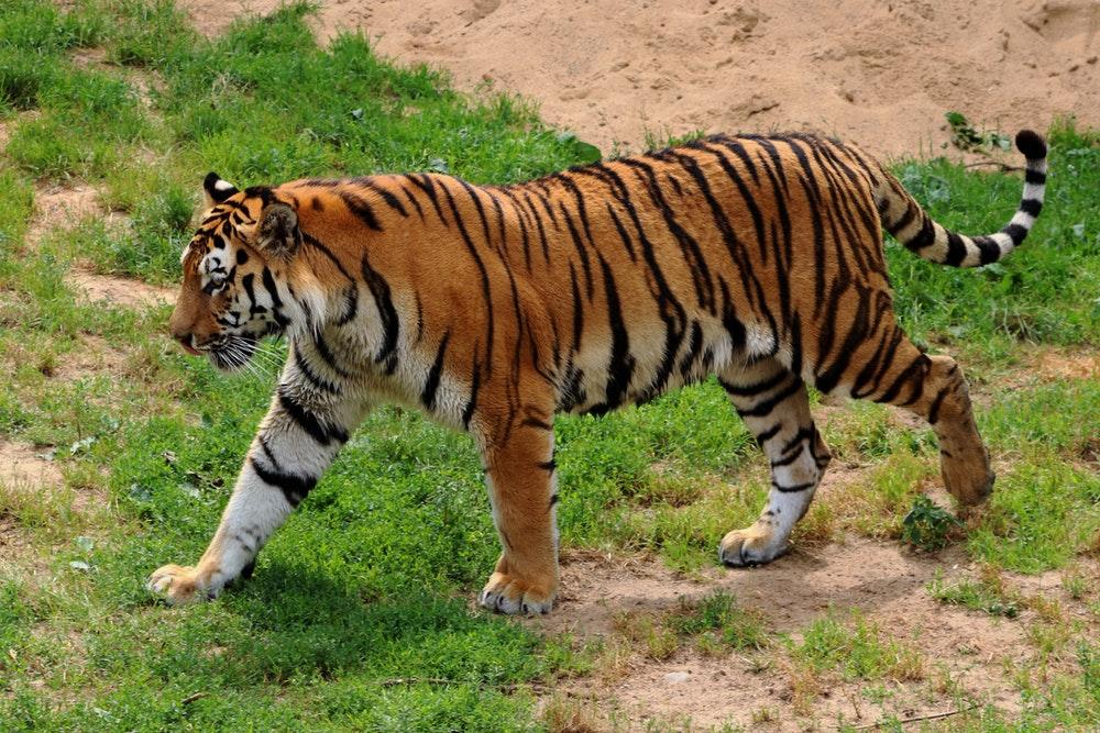 tijger-zeldzame-dieren