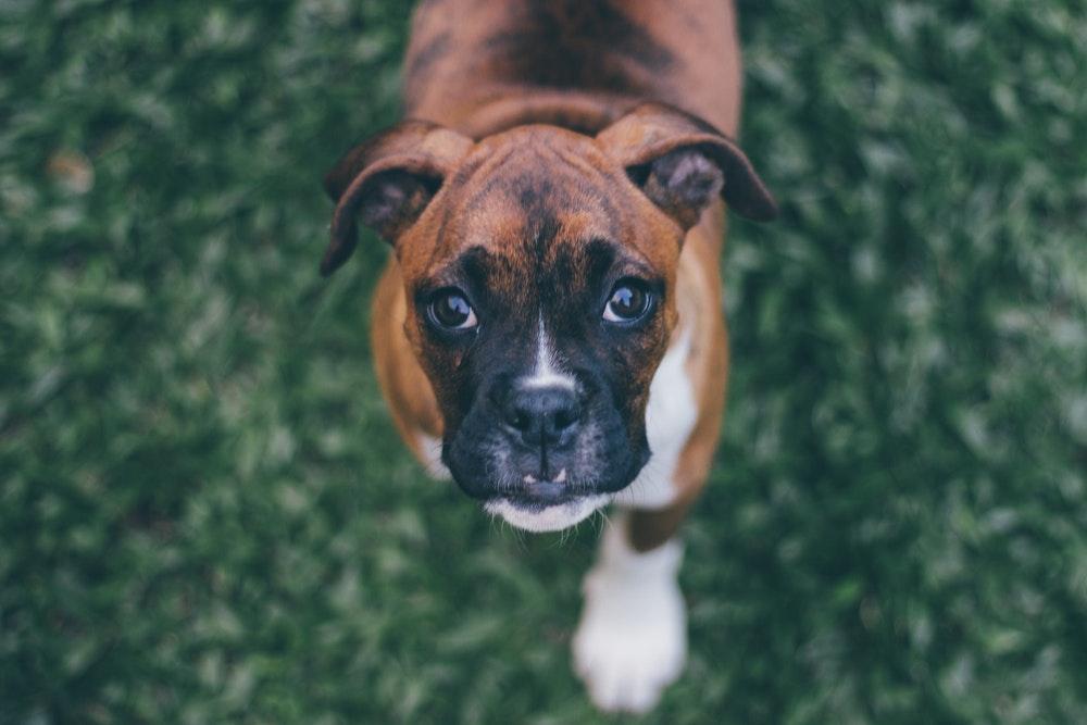 populaire-hondenrassen