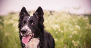 gehoorzame-hondenrassen