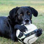 gehoorzame-hondenrassen-labrador
