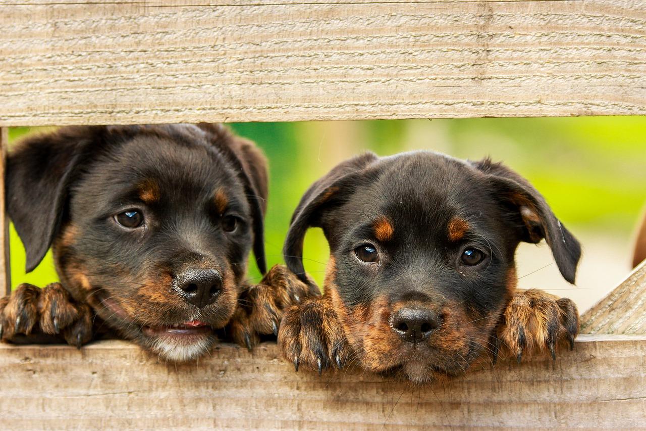 gehoorzame-hondenrassen-rottweiler