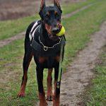 hond-leren-loslopen-2