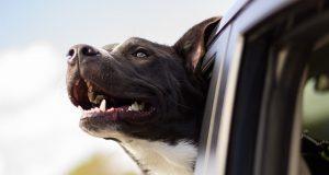 reizen-hond-auto
