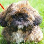 kleine-hondenrassen-shi-tsu