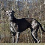 grote-honden