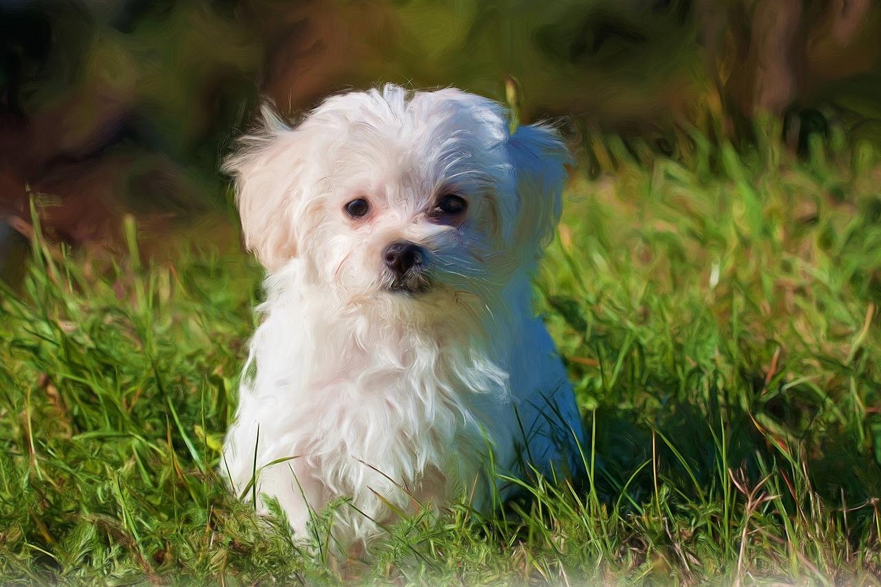kleine-hondenrassen-maltezer