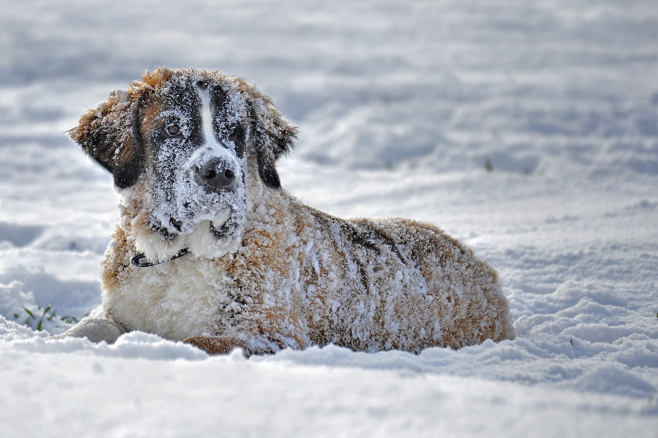 grote-honden-st-bernard