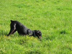 hond-graven