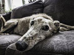 verzorging oude hond